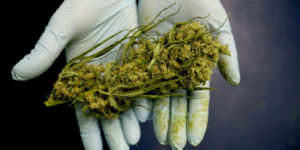 Pourquoi les études sur le cannabis se contredisent
