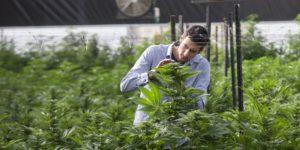 Israël alloue 2,1 millions de dollars pour des recherches sur le cannabis médical