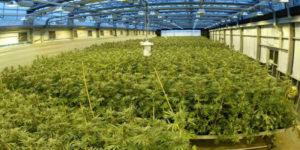 Royaume-Uni : La MS Society demande la légalisation du cannabis pour la sclérose en plaques