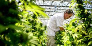 L'Afrique du Sud s'apprête à légaliser le cannabis médical