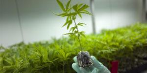L'Australie manque de cannabis médical et accélère ses importations