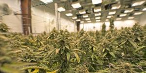 Californie : ouverture de la plateforme de licences pour la nouvelle industrie du cannabis