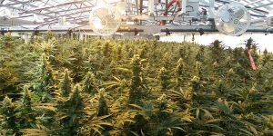 Du cannabis canadien pour l'Allemagne