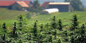 La Suisse devrait ouvrir 4 cannabis clubs