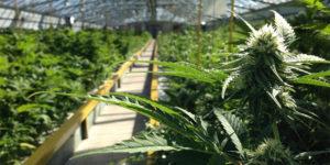 Italie : le cannabis médical gratuit en pharmacie