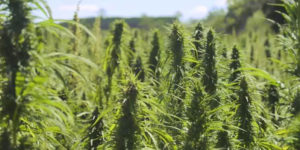 Le cannabis médical australien à l'assaut du marché chinois