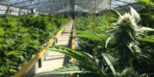 Le cannabis thérapeutique est-il légal en France ?
