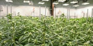 Maryland : après 4 ans de retard, le cannabis médical finalement disponible