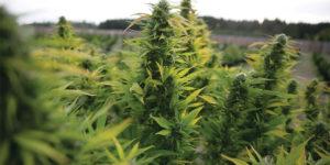 9 chiffres qui montrent que le cannabis s'est normalisé aux Etats-Unis