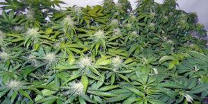 Etats-Unis : le cannabis pourrait rapporter 4 milliards de dollars par an à l'industrie pharmaceutique