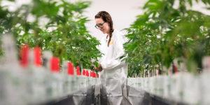 Canopy Growth va produire du cannabis médical en Espagne.