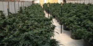 Pays-Bas : expérimentation d'une culture de cannabis gouvernementale