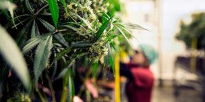 République Tchèque : la dépénalisation du cannabis n'a pas eu d'effets sur l'âge des premières consommations