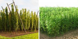 Connaissez-vous les points communs entre le houblon et le cannabis ?