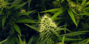 Les engrais modifient-ils le goût du cannabis ?