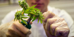 Où étudier le cannabis en Europe ?