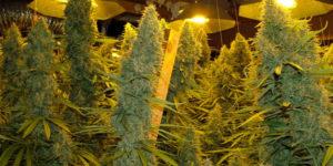 Grosses têtes de weed : comment font-ils ?