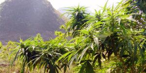 Inde : la première entreprise de cannabis médical reçoit un soutien de poids