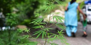 Inde : proposition de loi pour légaliser le cannabis devant le Parlement