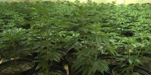 Irlande : un rapport recommande l'utilisation de cannabis médical