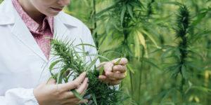 L'Université de Jérusalem lance un centre de recherches sur le cannabis médical