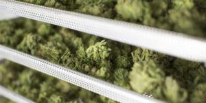 Canada : le Nouveau-Brunswick distribuera son cannabis via la Société des alcools