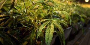 Royaume-uni : un think tank appelle à un marché numérique du cannabis