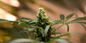 Le Mexique approuve la légalisation du cannabis médical