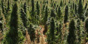 Quel pays consomme le plus de cannabis ?