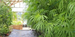 Quels pays permettent la culture du cannabis ?