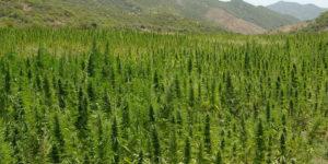 Les 10 pays qui cultivent le plus de cannabis