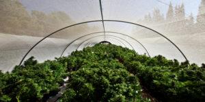 La première récolte de culture de cannabis médical arrive en Australie
