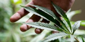 Suisse : pas de projet pilote de légalisation du cannabis