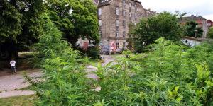 Danemark : les raids policiers sur Christiana poussent à la réforme des lois sur le cannabis