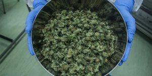 Première récolte officielle de cannabis médical en Italie