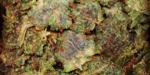Que faire des restes de weed après avoir pressé sa rosin ?