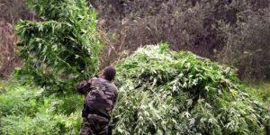 France : 5,9 tonnes de cannabis et 6000 plants saisis en octobre
