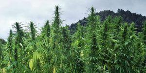 Pour 20$ de weed en Jamaïque